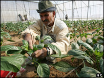Palestinian farmer tending his crops in one of the greenhouses