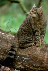 Scottish wildcat  (Picture from Scottish Natural Heritage by Laurie Campbell)
