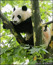 Panda (Getty Images)