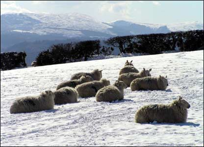 Welsh sheep above Betws y Coed taken by Dave Sallery from Kinmel Bay near Rhyl