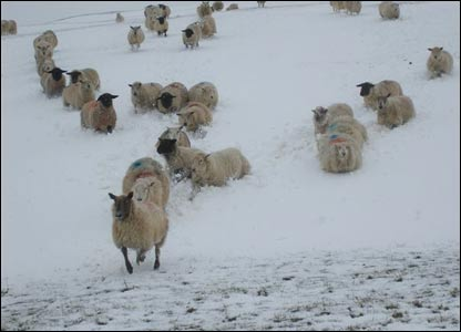 Phil Robinson's sheep running for food in the recent snow storms on the Clwydian hills