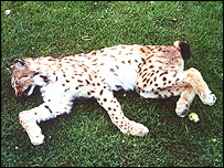 The dead lynx found in Norfolk