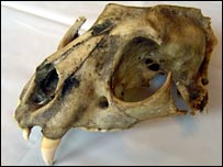 Puma skull found by farmer in Devon in 2005