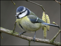 Blue tit (Picture Mike Lane)