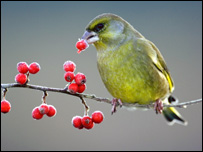 Greenfinch.  Image: Mark Hamblin/rspb-images.com