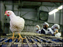 A chicken in a factory in Jerusalem