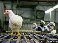 A chicken in a factory in Jerusalem