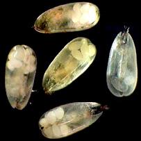 Darwinula stevensoni