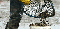 A cockle picker at Morecambe Bay, Lancashire