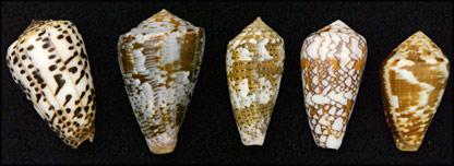 Cone snails (Clarkson)