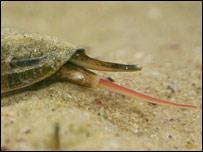 Cone snail (Clarkson)