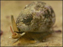 Cone snail (J Bingham)