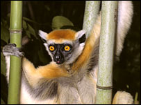 The golden crowned sifaka, Propithecus tattersalli.  Image: David Haring/Duke University Primate Center/AZE