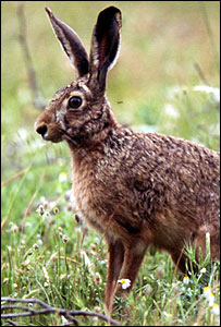 A brown hare (Photo courtesy of the South and South West Wales Wildlife Trust)