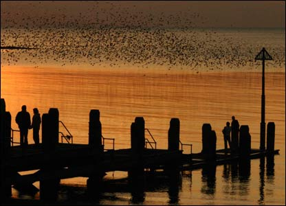 Starlings at sunset off North Beach, Aberystwyth (Matt Davies)