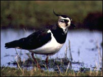 Lapwing at Elmley Marshes (picture from RSPB)