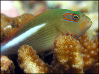 The arc-eye hawkfish (David Obura/New England Aquarium)