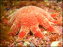 A cushion star - image courtesy of Scottish Natural Heritage