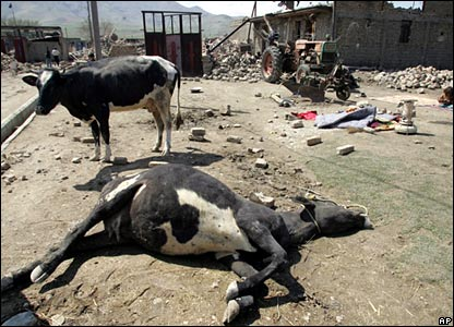 A cow killed in one of the earthquakes
