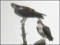 Osprey - Picture: Aled Jones