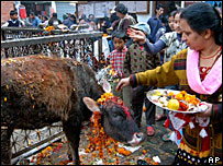 Cow in Nepal