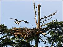 The male osprey last summer (Emyr Evans)