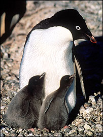 Adelie penguin and chicks, AP