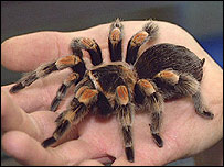 A red-kneed tarantula
