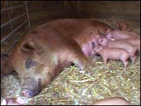 Delores and piglets.