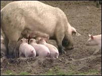 Piglets at Motty Mead Farm in Oxfordshire
