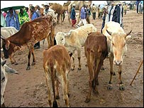 Cattle and people in Moyale, Ethiopia