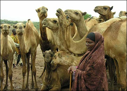 Camels and a woman