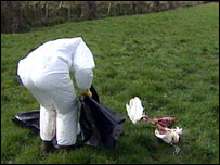Vet taking away dead swan