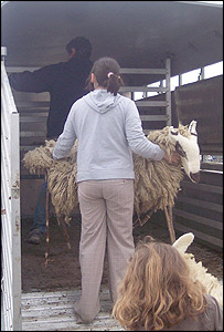The sheep being loaded into a trailer (picture: Powys Council)