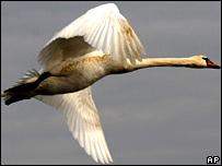 Swan (AP)
