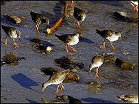 Birds on the beach at Cellardyke