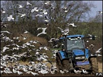 Tractor surrounded by seagulls in Fife