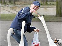 Woman feeding swans