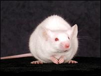 MRL mouse (Heber Katz)