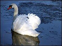 Swan in Fife. Pic: Brian Jolly