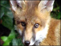 Fox (generic)