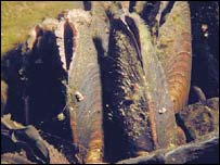Pearl mussels