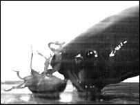 C. apus (Sam Van Wassenbergh)