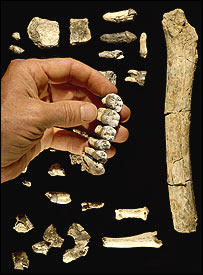 Australopithecus anamensis fossils from Asa Issie  Photo © 2005 Tim D. White\Brill Atlanta
