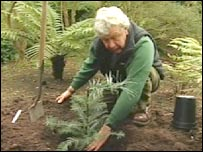 Curator planting Wollemi pine