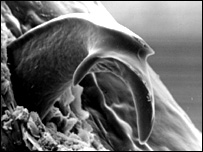 A close-up of a young B. taitanus's tooth (NHM/A Kupfer)