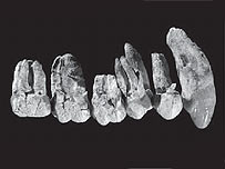 Australopithecus anamensis, Image: Nature