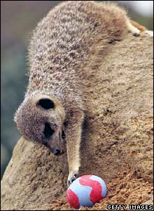 A meerkat plays with an Easter egg filled with worms