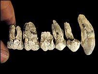 Dientes del Australopithecus anamensis. (Imagen: Tim D White\Brill Atlanta)