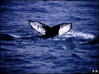 Humpback whale (Generic)